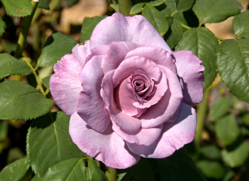 Organic Garden Dreams October Roses