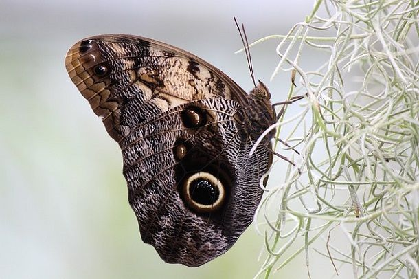 buckeye-butterfly-eye-pattern