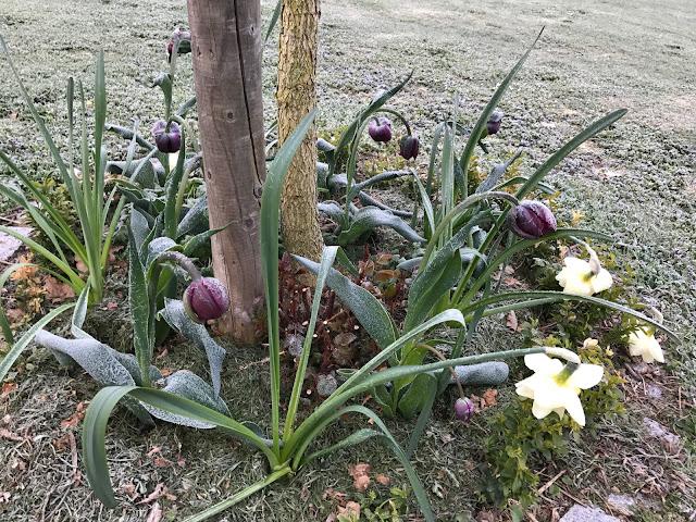 Tulpen und Narzissen nach  Frühlings-Frostnacht (c) by Joachim Wenk