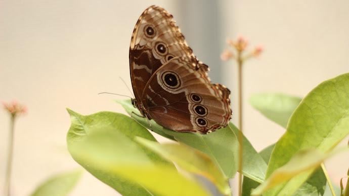 Wallpaper: Brown Butterfly