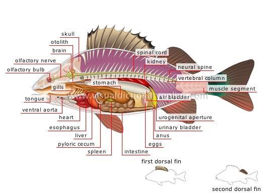 morfologi dan anatomi ikan mujair oreochromis massambicus. Black Bedroom Furniture Sets. Home Design Ideas