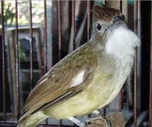 Burung cucak jenggot merupakan salah satu burung yang memiliki abjad bernafsu dan bert CARA MENGATASI CUCAK JENGGOT YANG MENCABUTI BULUNYA SENDIRI