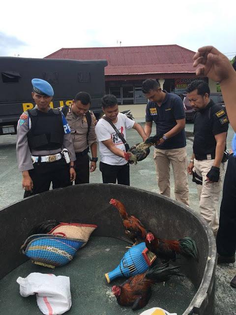 Diduga Judi Terselubung, Polisi Bubarkan Kontes Ayam Jago di Sungai Limau