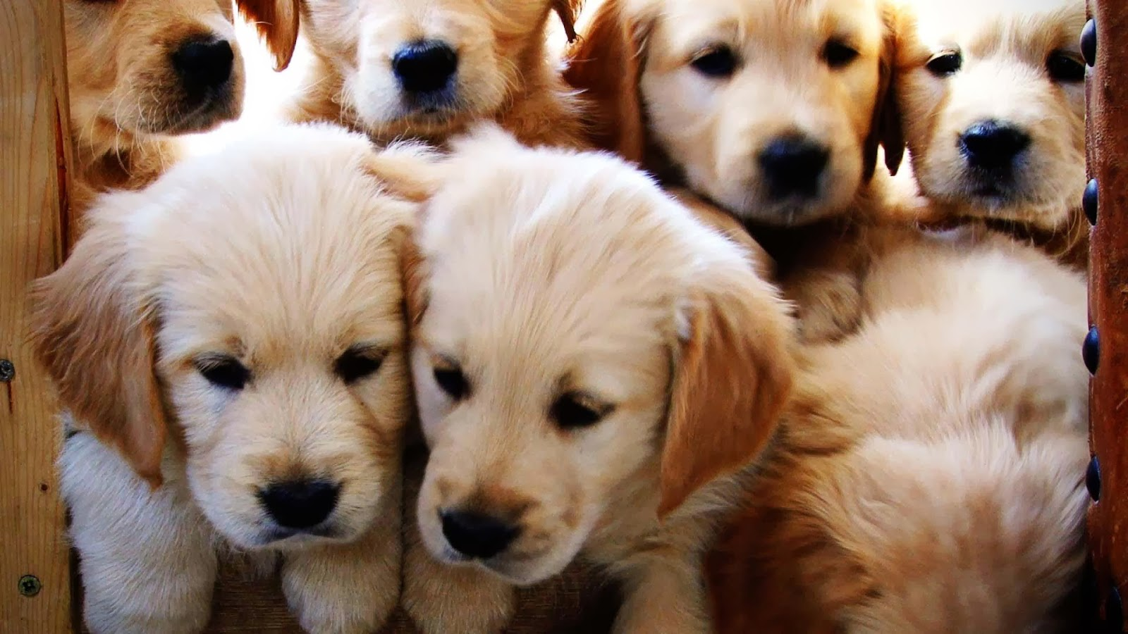 Cute Golden Retriever Puppies Wallpaper Image