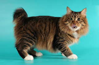 gambar kucing American Bobtail