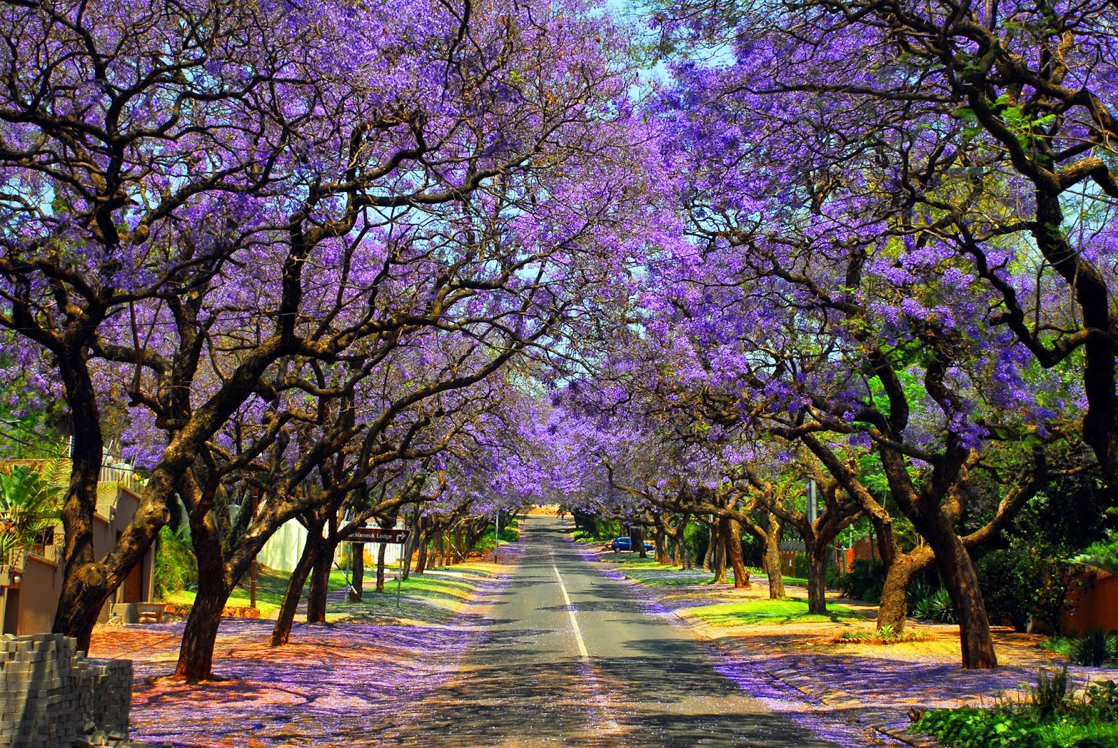 The jacaranda trees of Pretoria line the streets and burst into bloom during October