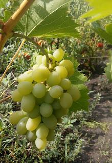 свой виноград, выращенный на даче