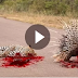 CRAZIEST Animal attacks Caught On Camera #5 - When Prey Fights Back - Porcupine Kills Leopard