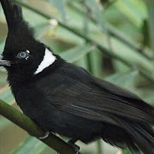 MP3 Suara Burung Cililin Untuk Masteran Berbagai Jenis Burung Kicau
