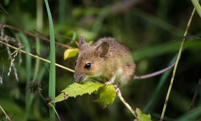 Cara Membuat Racun Tikus Dari Bahan Alam , Praktis