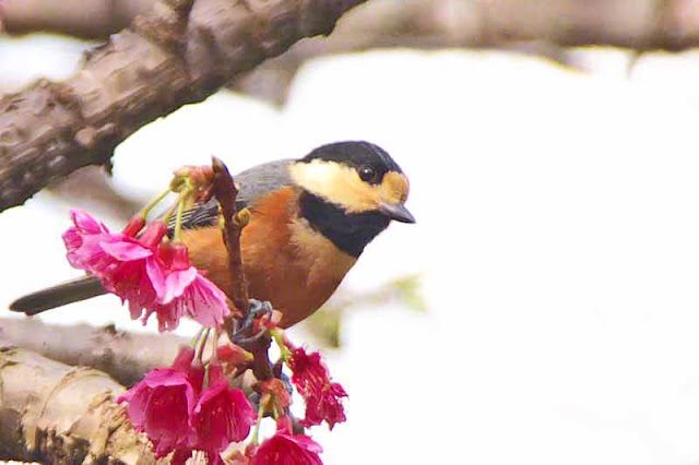 Poecile varius, bird, Varied Tit, cherry blossoms