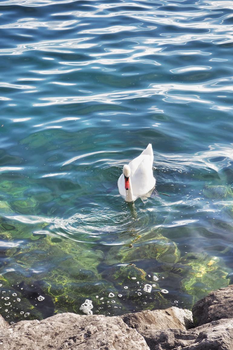 Cygne sur le Lac Léman