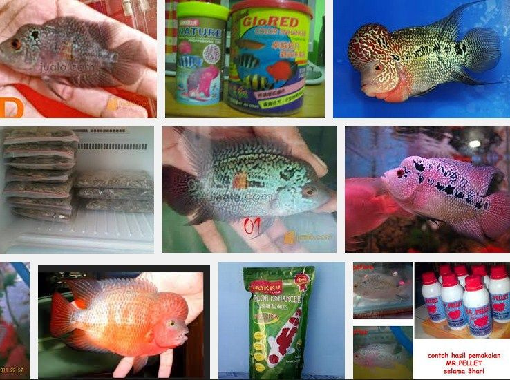 Makanan Terbaik Ikan Louhan Biar Cepat Besar, Jenong dan merah