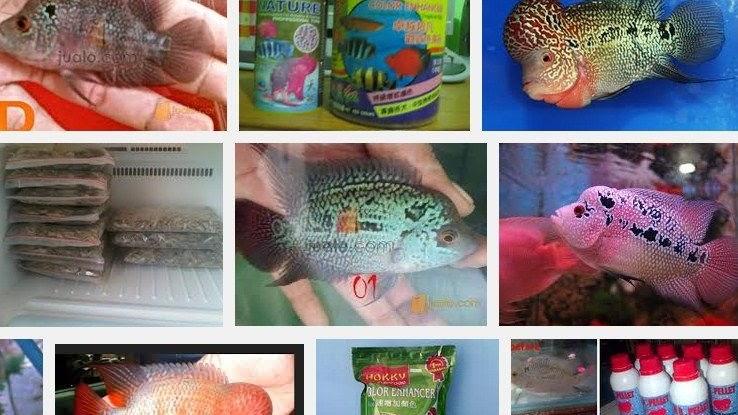 Makanan Terbaik Ikan Louhan Biar Cepat Besar Merah Dan Jenong