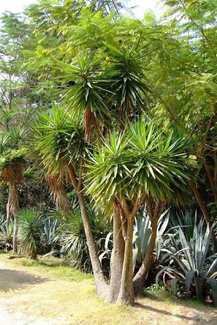 Yucca gigantea - Yucca elephantipes cuidados ...