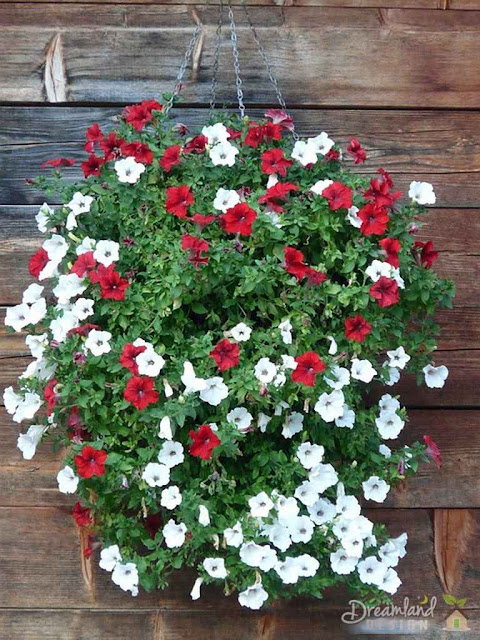 Petunias are a lovely flower choice for hanging baskets