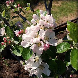 apple blossoms - www.growourown.blogspot.com - an ecotherapy blog