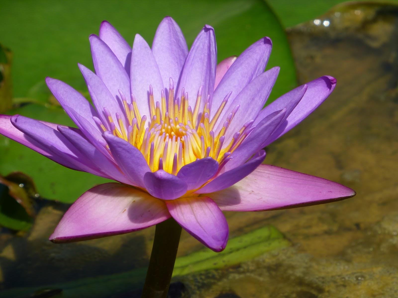 Lotus Flower Eye Disease