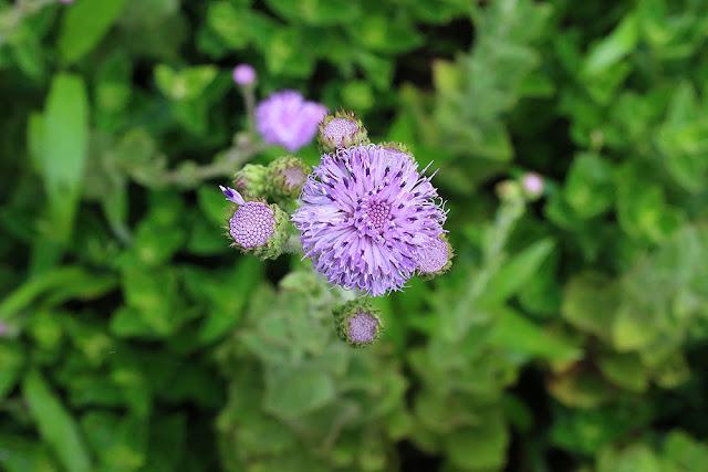 Motha Sonki Adenoon indicum kaas plateau western ghats valley of flowers
