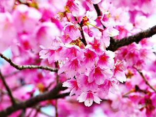Gambar Bunga Sakura Paling cantik di Jepang 100