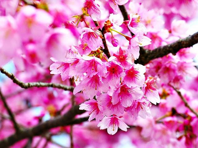 20 Gambar Bunga Sakura Jepang Tercantik Terindah Si Gambar