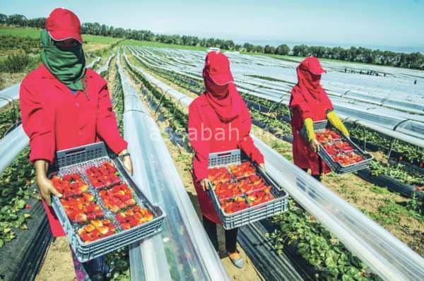نقابات إسبانية تحتال على عاملات التوت
