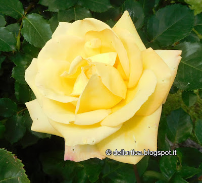 rosa gioia peace confetture petali cinorrodi per tisane della fattoria didattica dell ortica a Savigno Valsamoggia Bologna in Appennino vicino Zocca