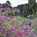 瑞源寺で萩の花が見頃を迎えています