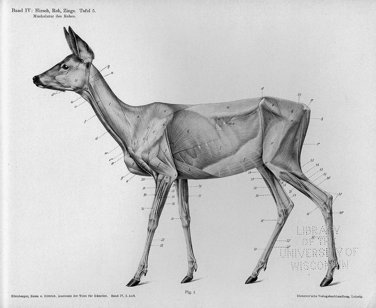 Horse Anatomy By Herman Dittrich Hind Legs: Anatomical Illustrations Of Common Animals By Hermann