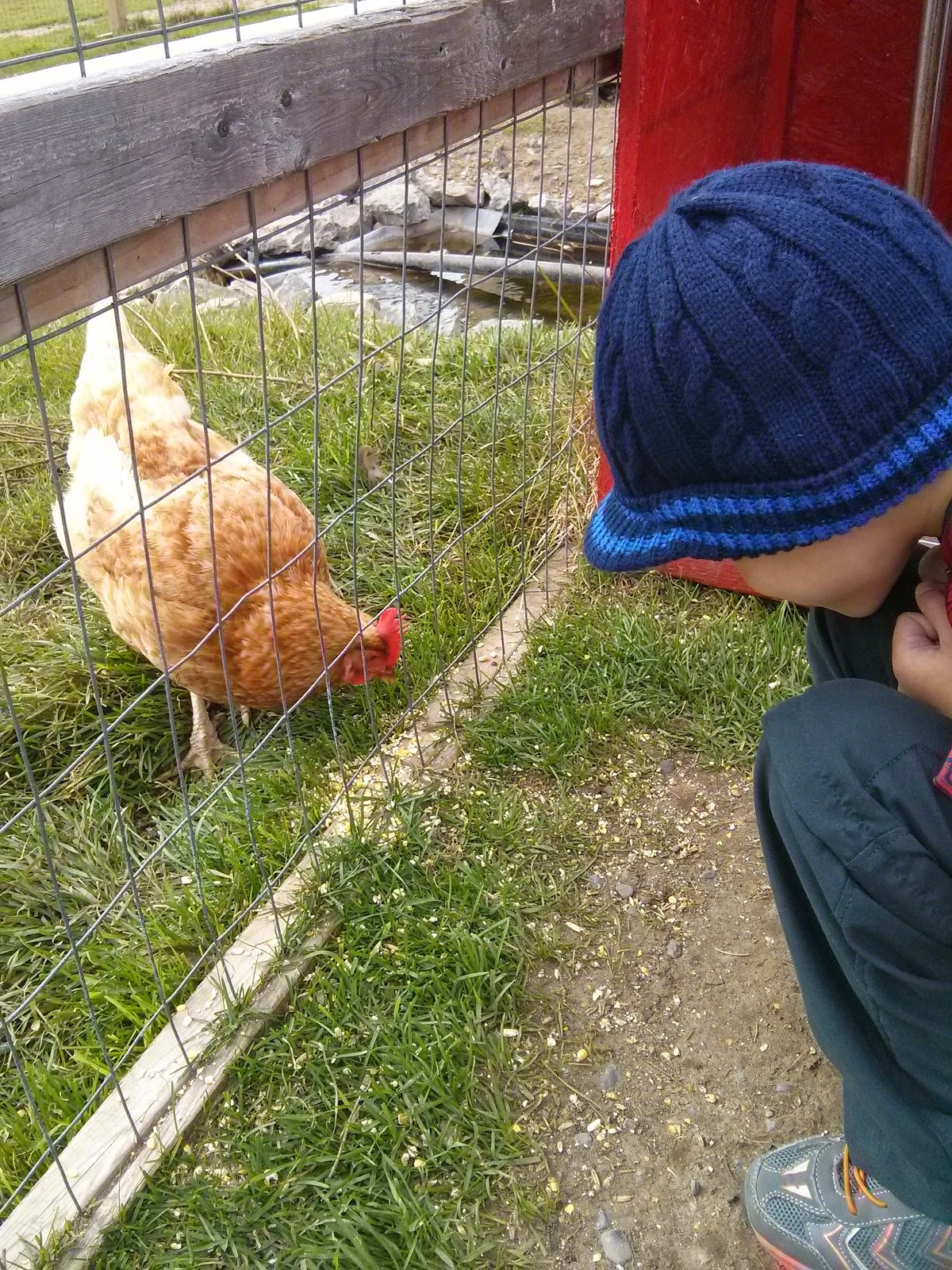 chicken at Big Apple Colborne petting farm copyright 2014 OneQuarterMama.ca