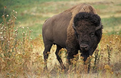 Bison American subfamili Bovinae dan famili Bovidae - berbagaireviews.com