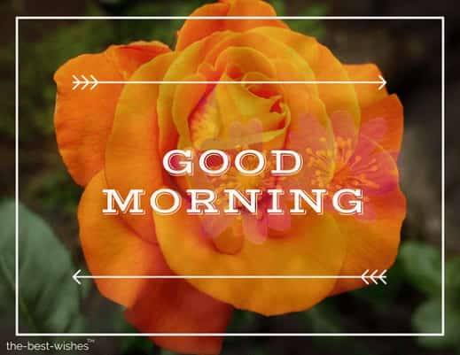 good morning with orange rose