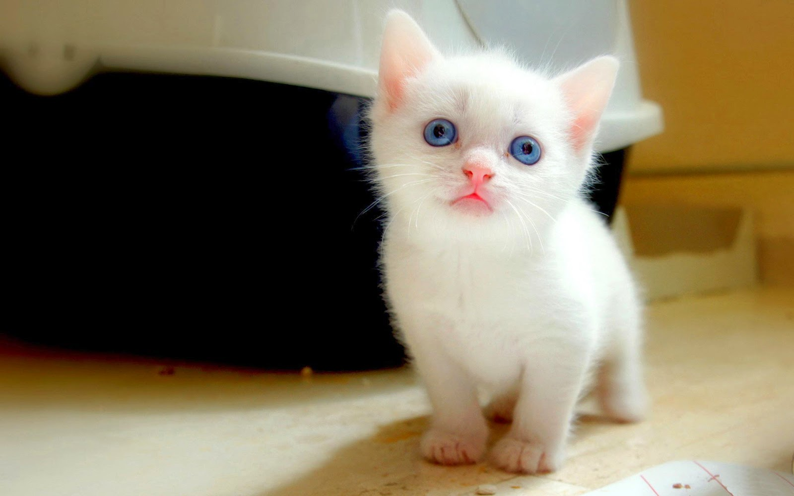 Lovable images cute cat wallpapers free download - Cute kittens hd wallpaper free download ...