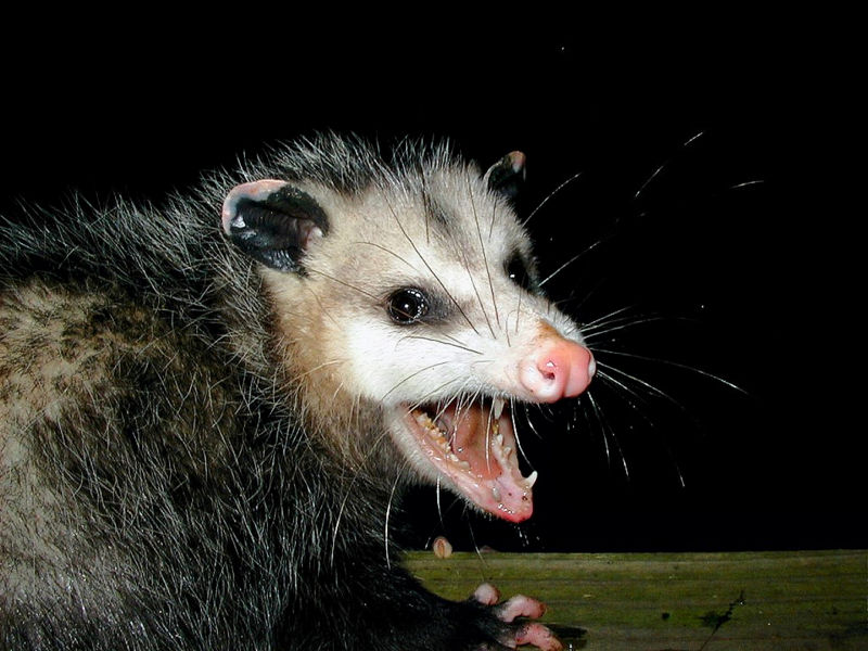 Opossum Animal Wildlife