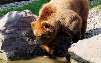 Wallpaper: Brown Bear of Kamchatka
