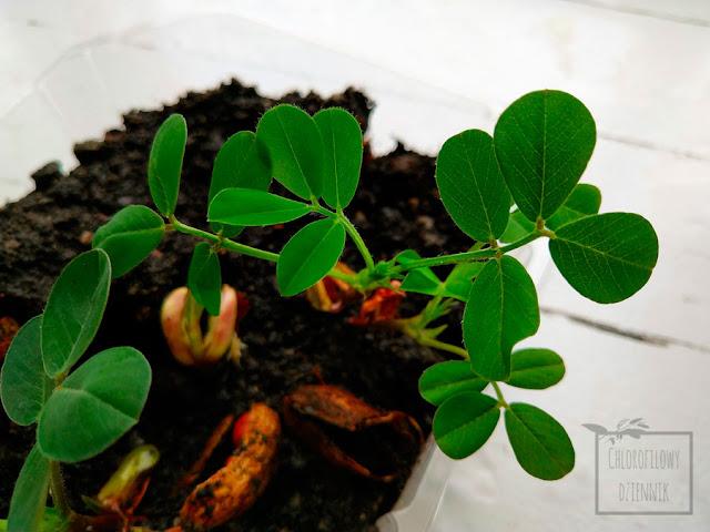 Orzech ziemny (Arachis hypogaea), arachidowy, orzacha ziemna, fistaszek uprawa z nasion, siew, hodowla w doniczce i w gruncie, jak wysiać orzeszki ziemne, ile i jak długo kiełkuje fistaszek, egzotyczne rośliny jednoroczne uprawiane w Polsce, ciekawostki botaniczne, kiełkowanie, liście.