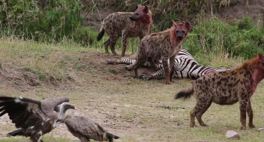 27+ Contoh gambar hewan hyena terupdate
