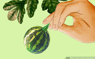 how-to-grow-square-watermelon