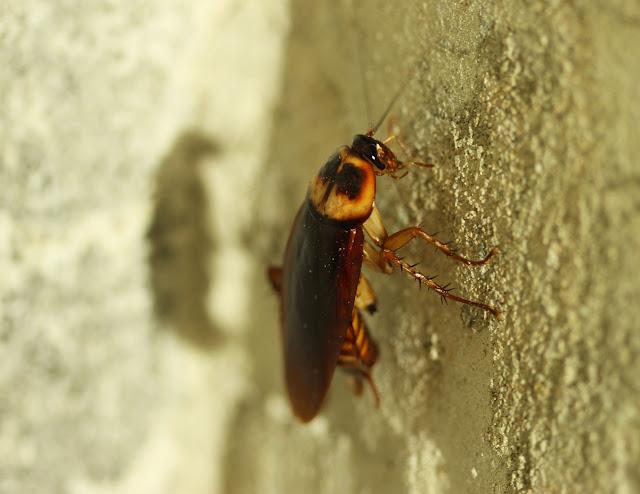 Panduan berjimat buat sendiri kawalan serangga perosak lipas di rumah