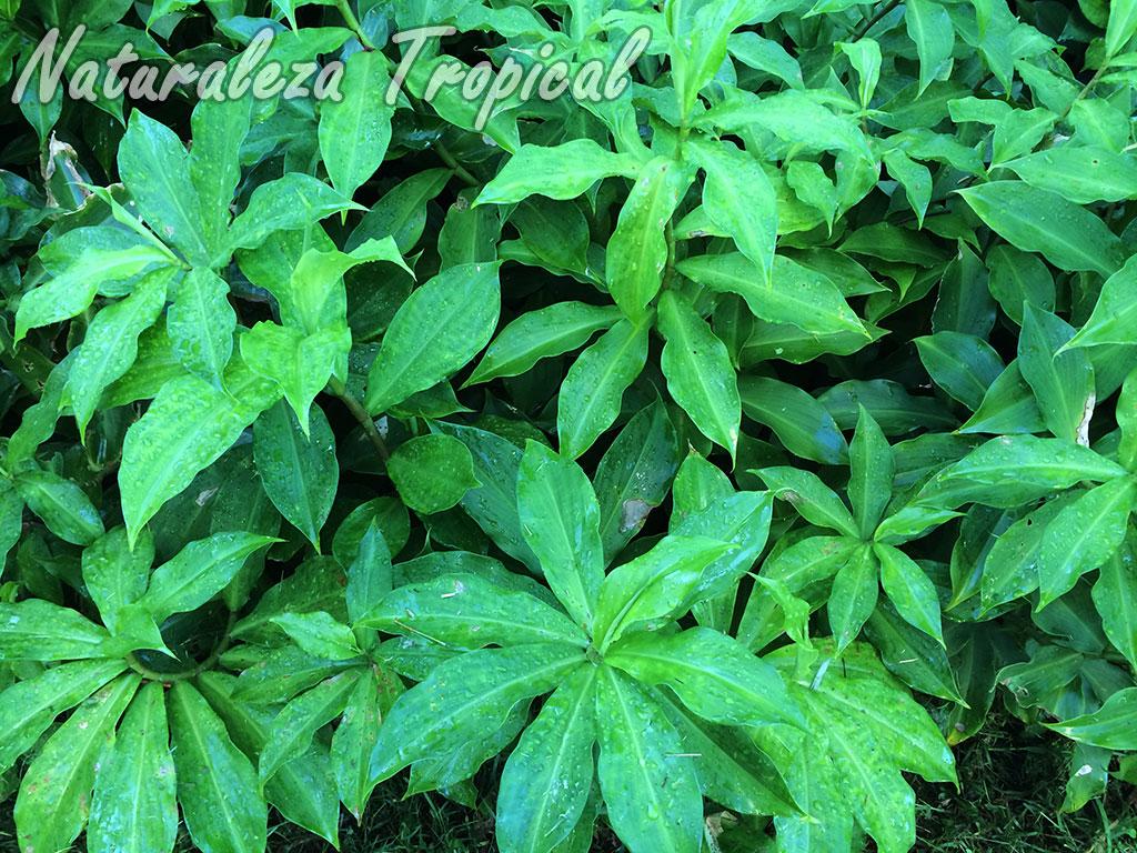 naturaleza tropical conoce todo sobre la planta ca a