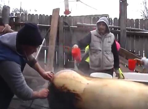Πως γδέρνουν τα γουρούνια στην Ρουμανία: Εντυπωσιακό βίντεο