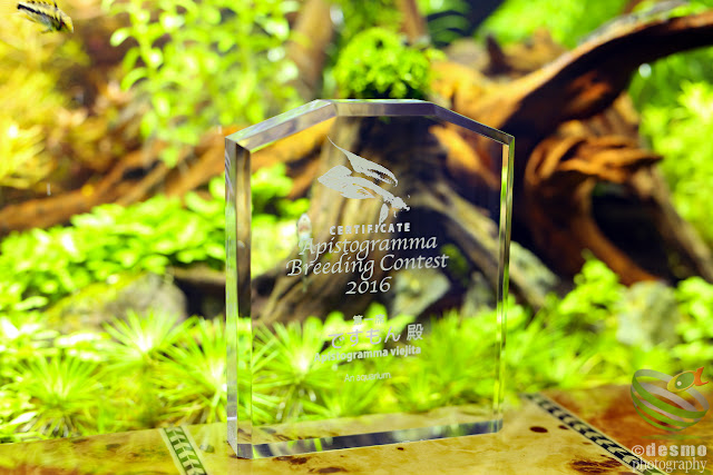 Apistogramma Breeding contest 2016