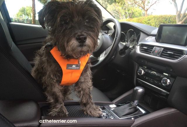 Oz the Terrier in 2016 Mazda 6 Grand Touring