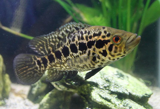 Joe 39 s aquaworld for exotic fishes mumbai india 9833898901 for Cichlid fish for sale