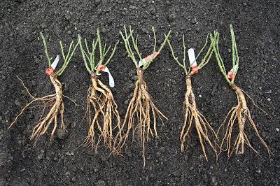 ラクサ台木のイングリッシュローズ苗「ザ・ダークレディ」