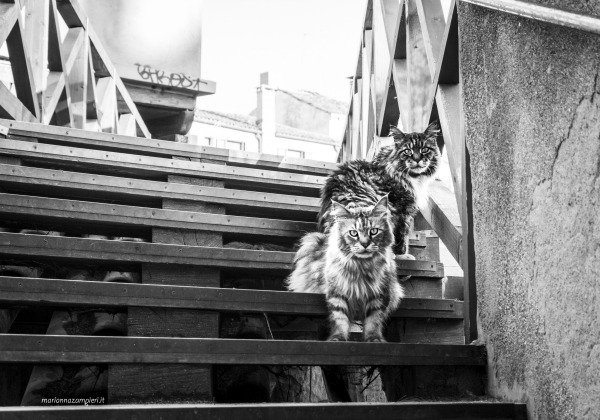 maine coons venice