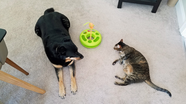 image of Zelda the Black and Tan Mutt and Sophie the Torbie Cat lying on the floor in the dining room, with a large cat toy between them