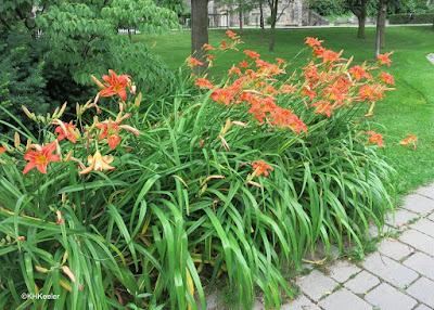 daylilies, Toronto, Canada