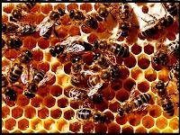Cara Budidaya Lebah Madu Menguntungkan