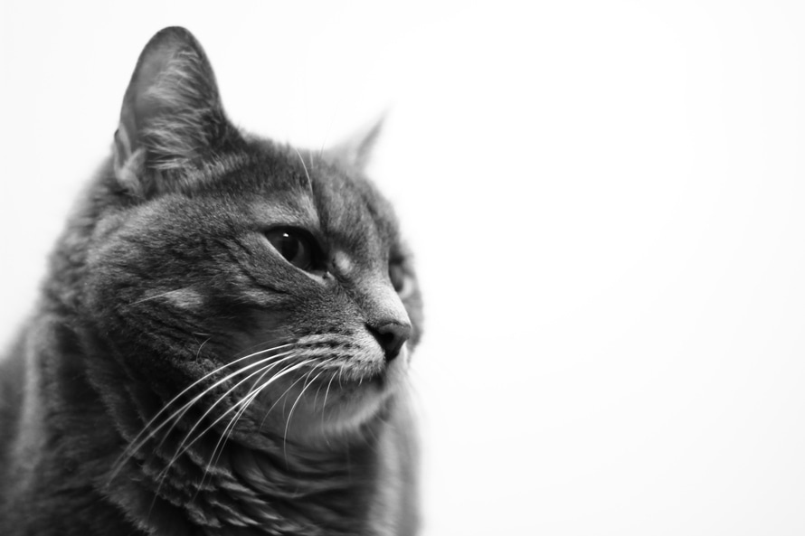 gatto foto bianco e nero